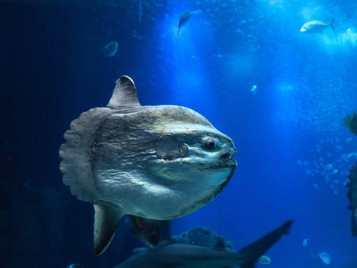 Le poisson-Lune (Môle) fait partie des plus gros animaux du monde.