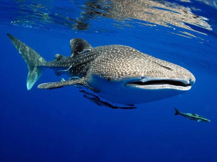 Le requin-baleine fait partie des plus gros animaux du monde.