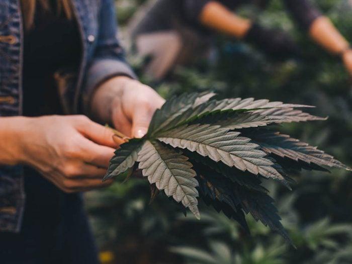 Les terpènes du cannabis: l'effet d'entourage.