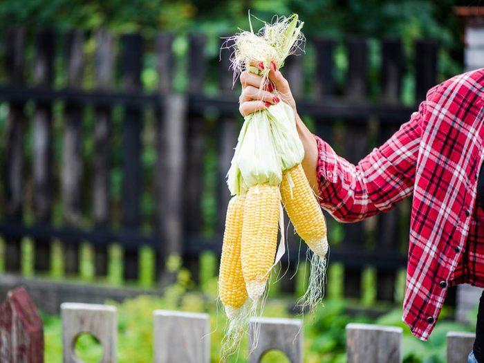 En automne, savourez du blé d'inde.