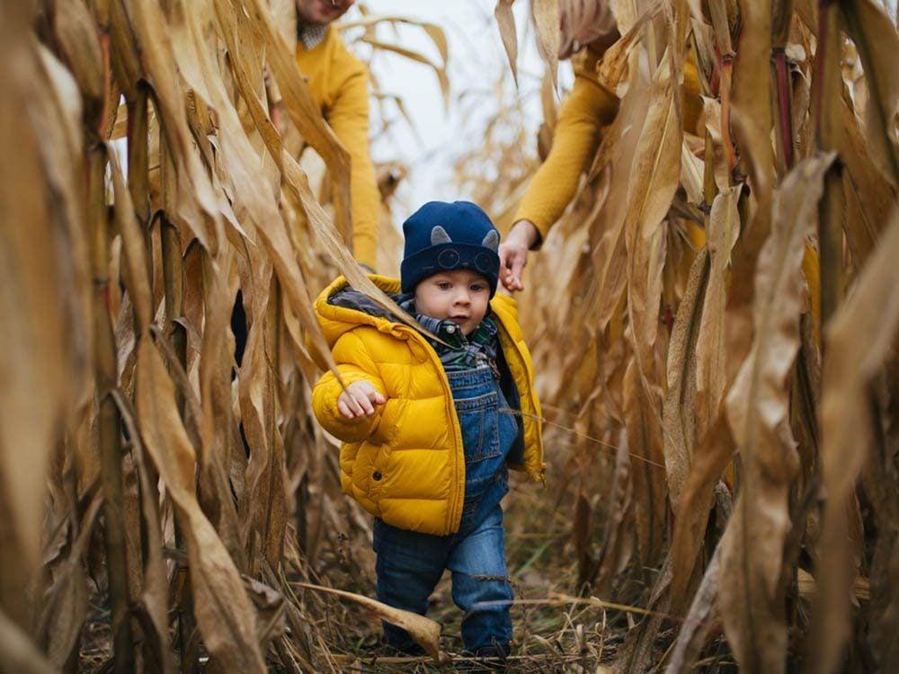 En automne, on s'amuse dans les labyrinthes de maïs