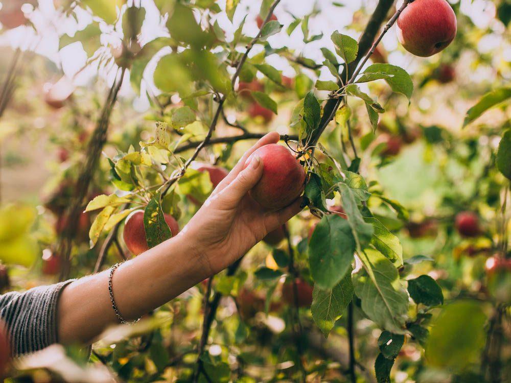 En automne, cueillez des pommes vous même!