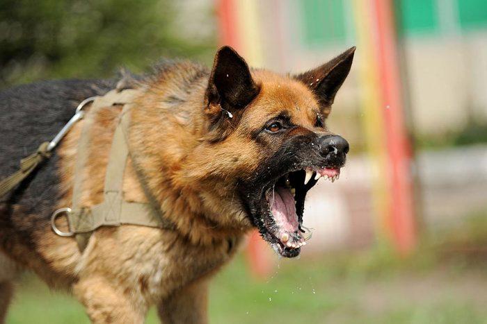 Décoder les signes de votre chien en colère: il devient plus agressif.