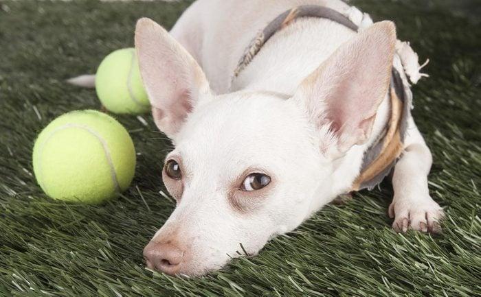 Décoder les signes de votre chien en colère: vous voyez le blanc de ses yeux.