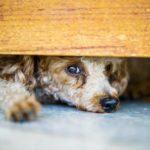 Cannabis et animaux de compagnie : attention danger