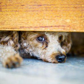 Décoder les signes de votre chien en colère: il se cache sous le canapé.