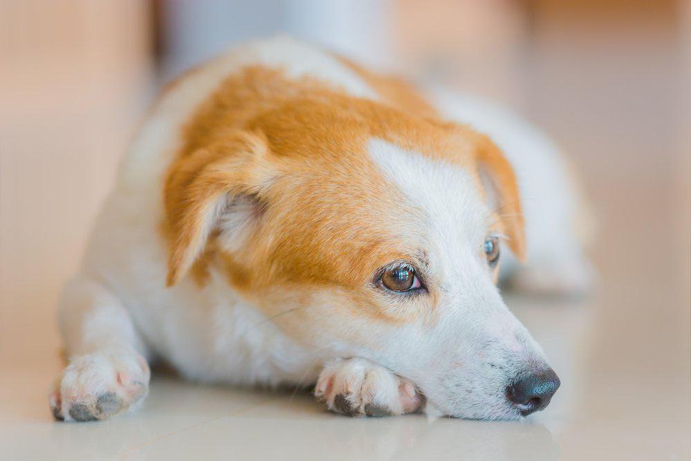 Décoder les signes de votre chien en colère: il évite votre regard.