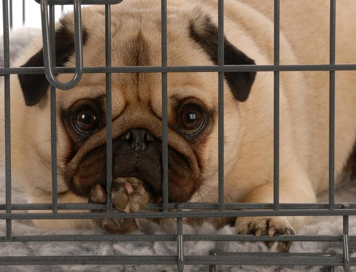 Décoder les signes de votre chien en colère: il grogne sans raison.