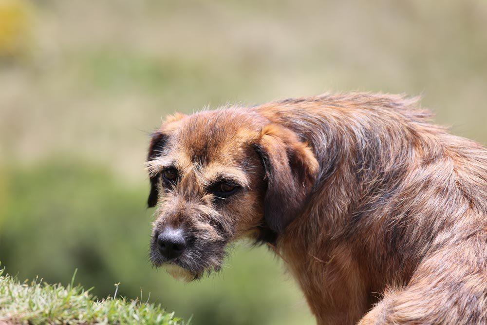Décoder les signes de votre chien en colère: il a les oreilles basses.