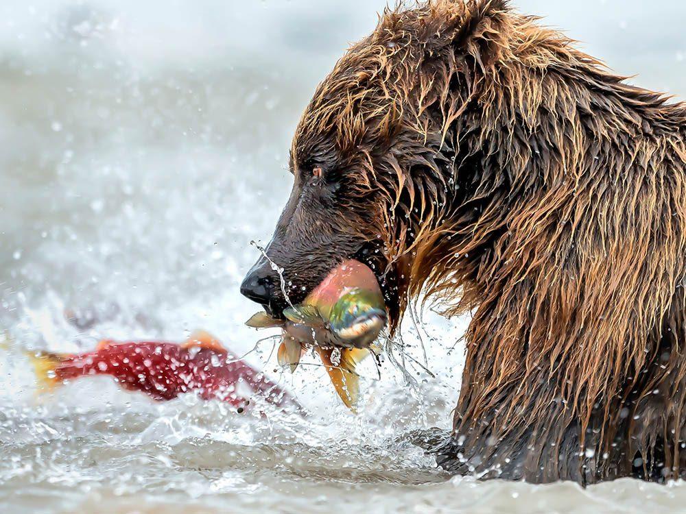 L'ours grizzly est à l'aise pour pêcher sur son territoire.