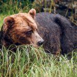 Sur le territoire de l'ours grizzly
