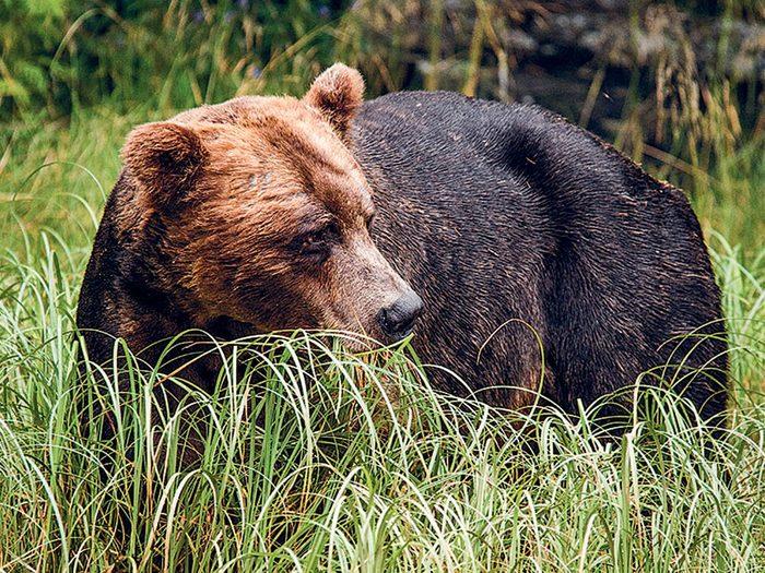 Courir plus vite que l'ours grizzly, vraiment?