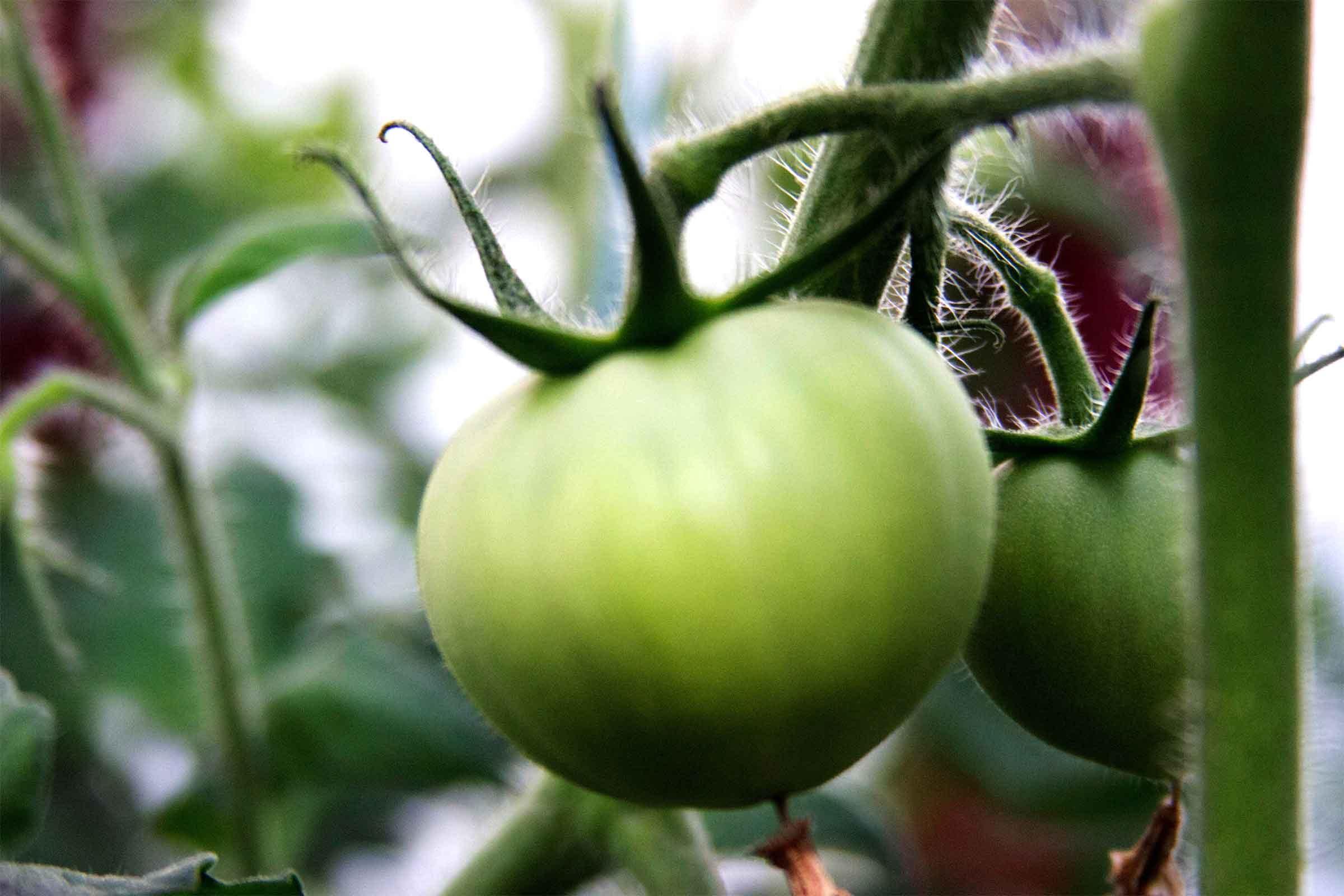 Faire mûrir les tomates vertes avec des pommes