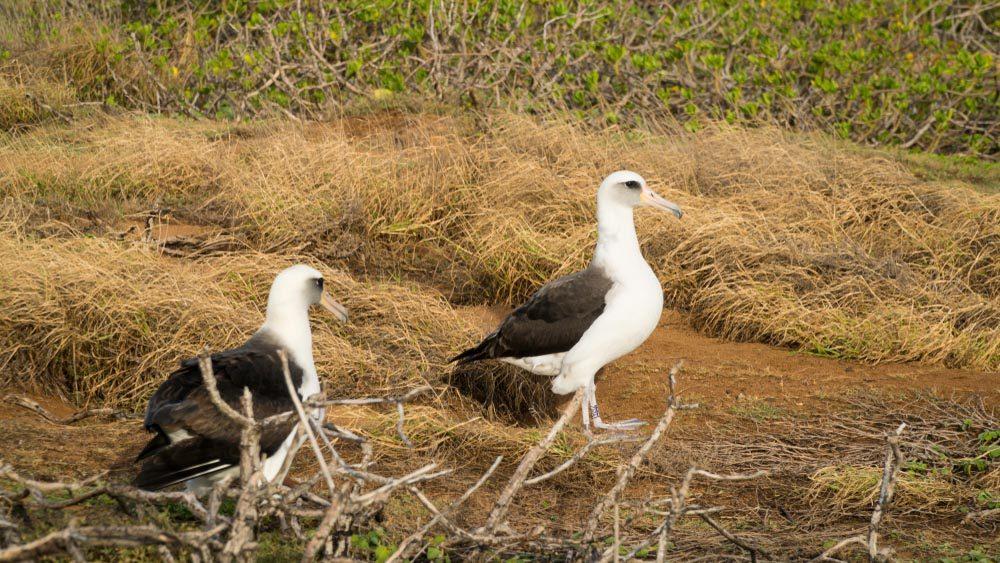 Le plastique tue les oisillons albatros de Laysan.