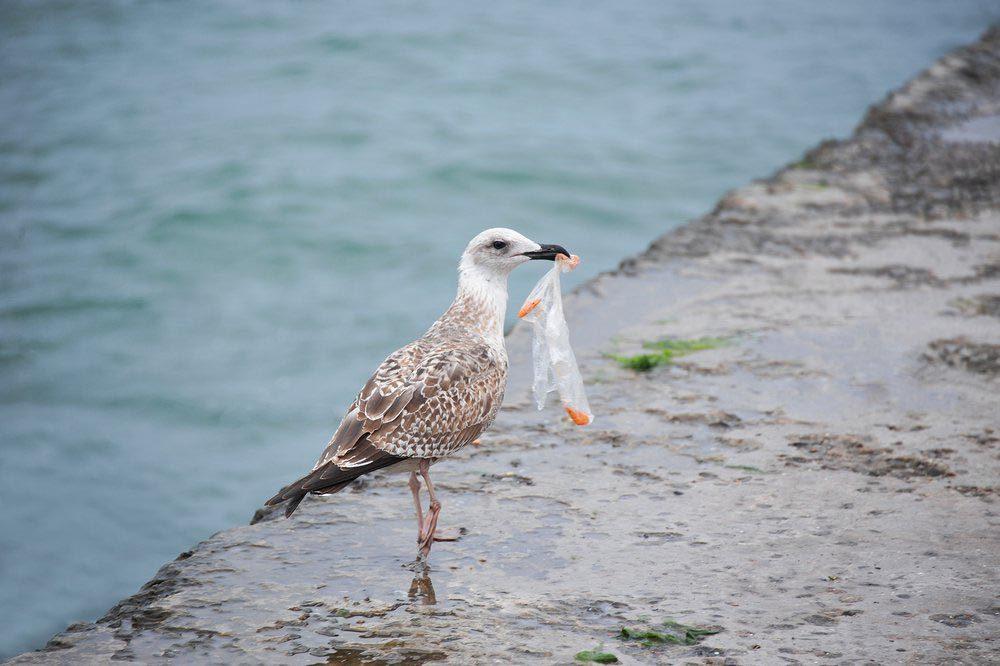 Les plastique est avalé par les oiseaux de mer.