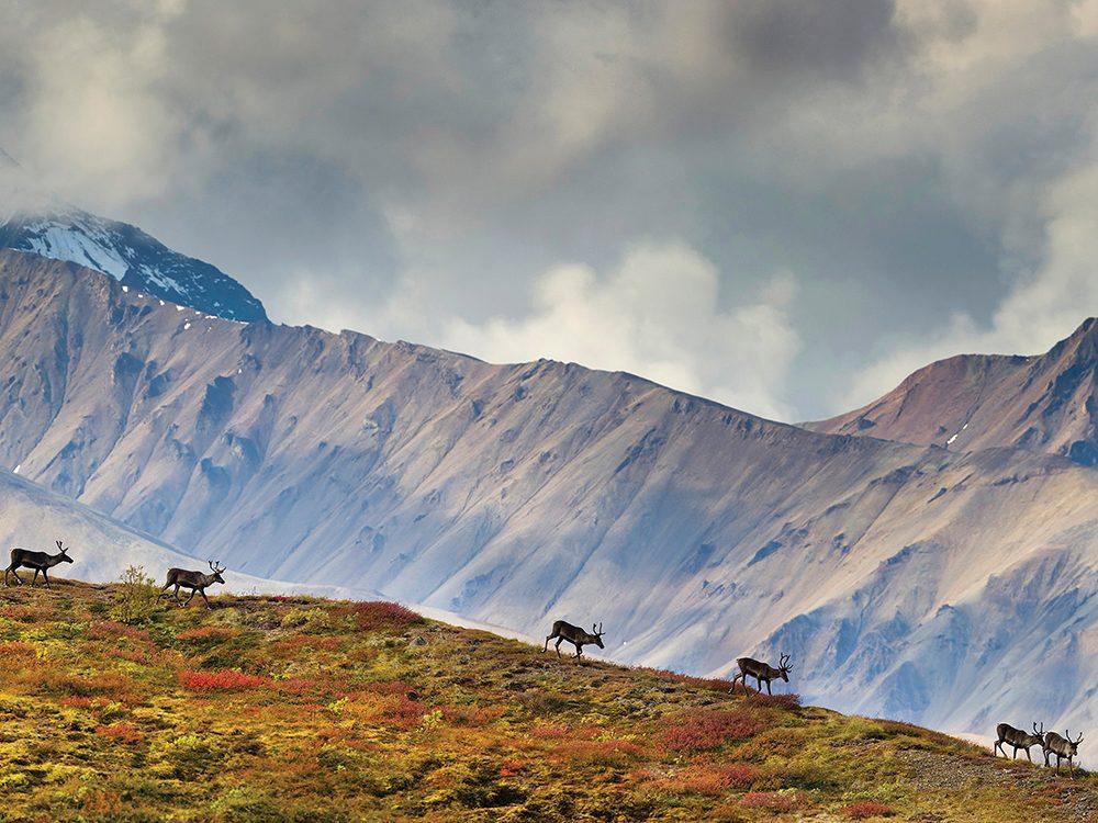 En Amérique du Nord, les rennes sont appelés caribous.