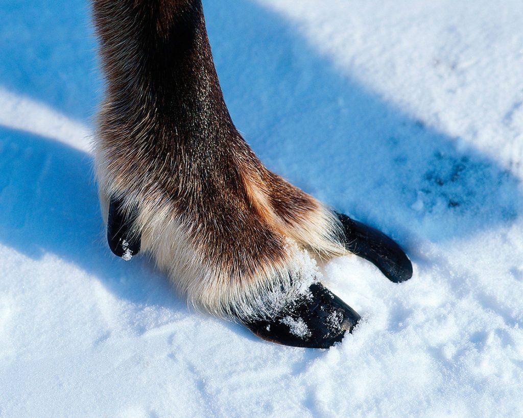 Les rennes sont les cervidés qui possèdent les plus grands pieds.