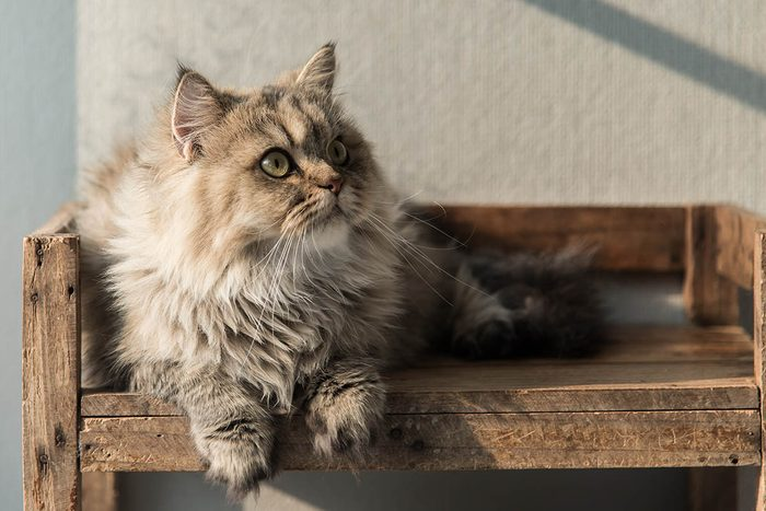 Animaux familiers : le plus vieux chats au monde est mort à 38 ans.