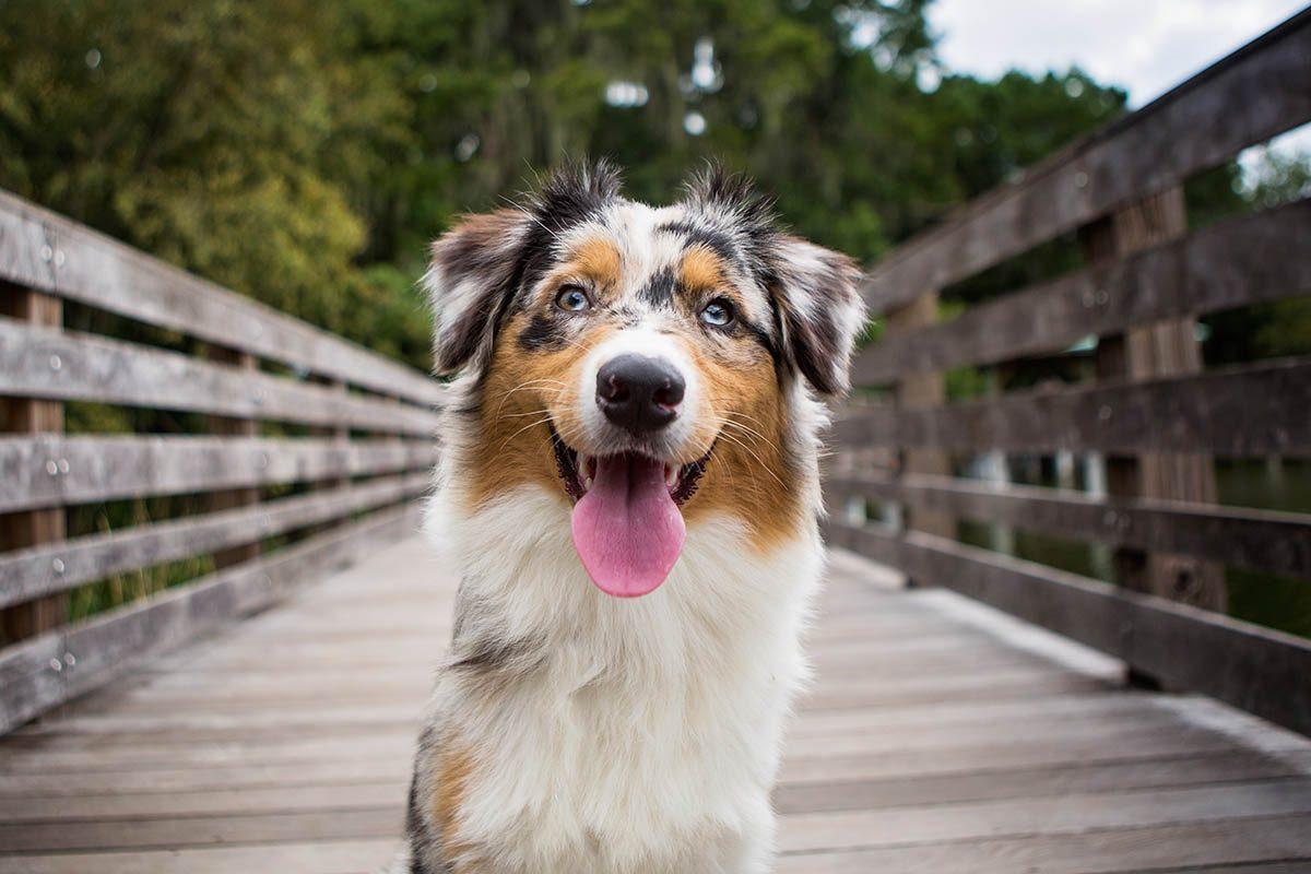 Animaux familiers : le plus vieux chien au monde a vécu 29 ans.
