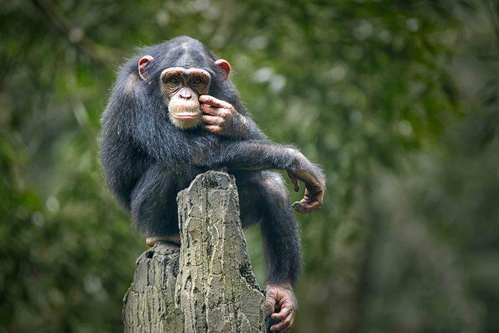 Animaux familiers : le plus vieux chimpanzé au monde a vécu 64 ans.