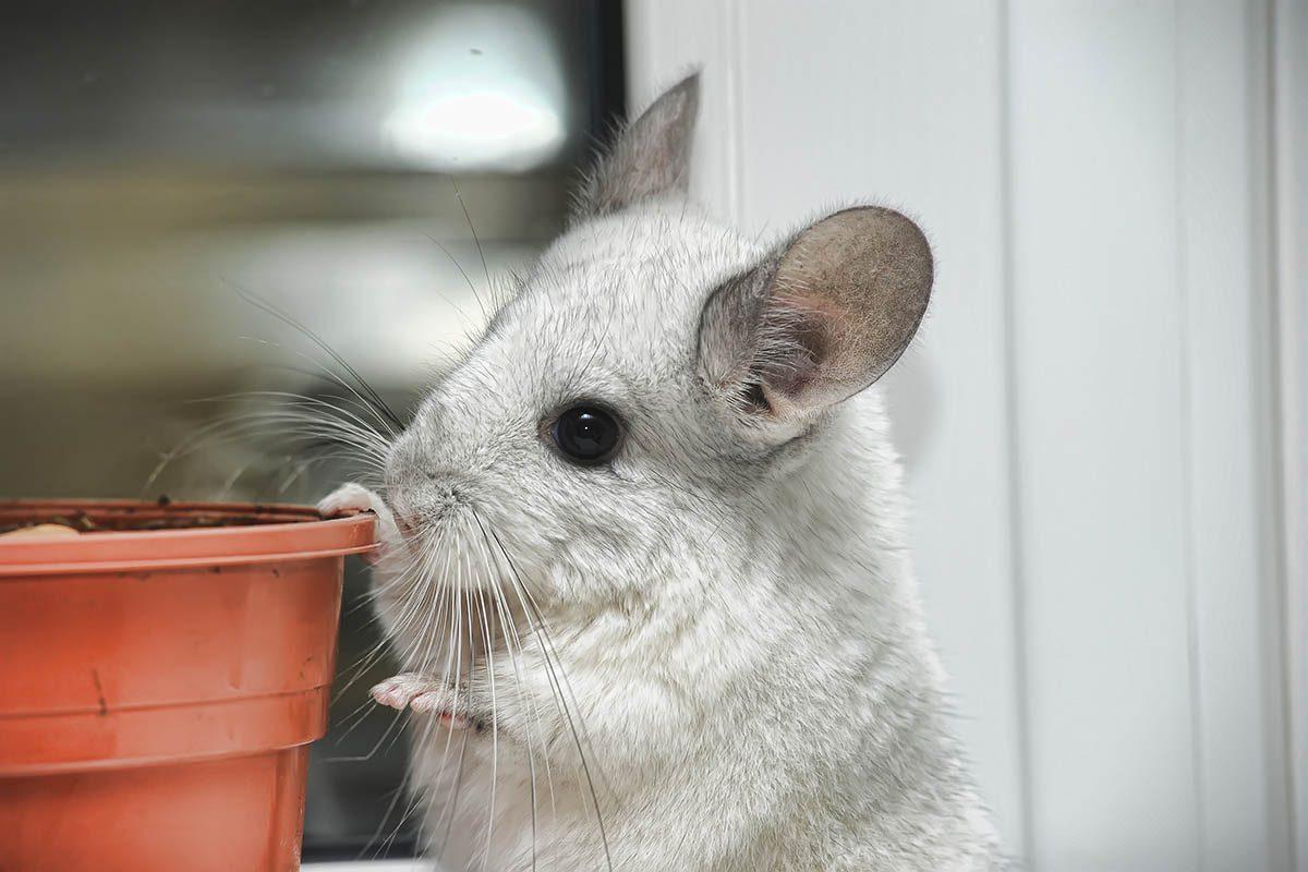 Animaux familiers : un chinchilla a vécu plus de 27 ans.