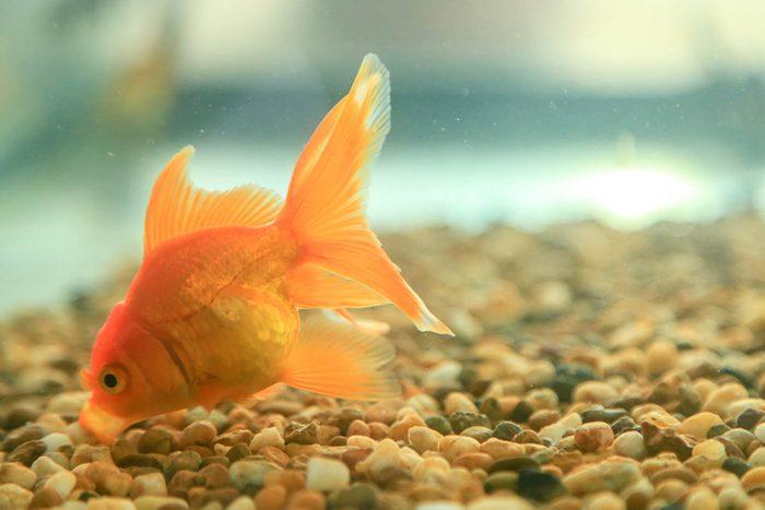 Animaux familiers : le plus vieux poisson rouge au monde a vécu 43 ans.