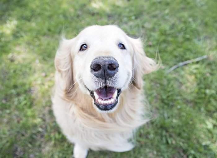 Expressions faciales chez le chien : le sourire est du à l'excitation.