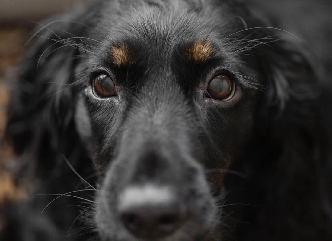 Expressions faciales chez le chien : lever les sourcils est un signe de vigilance.