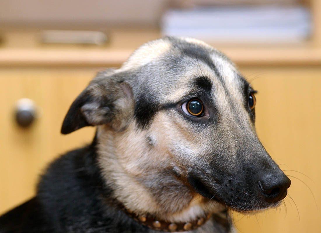 Expressions faciales chez le chien : il aplatit ses oreilles en signe de peur.
