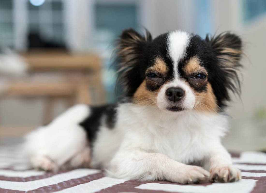 Expressions faciales chez le chien : le plissement des yeux peut être un signe de maladie.
