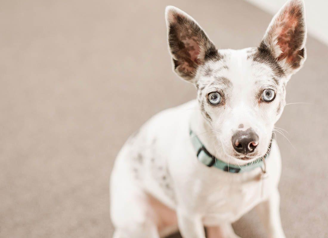 Expressions faciales chez le chien : un regard expressif est une façon de demander une approbation.