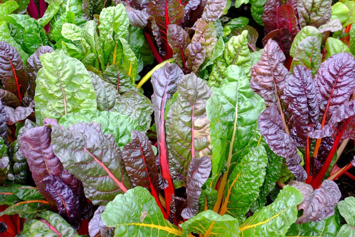 Super-aliments d'automne : la bette à carde.