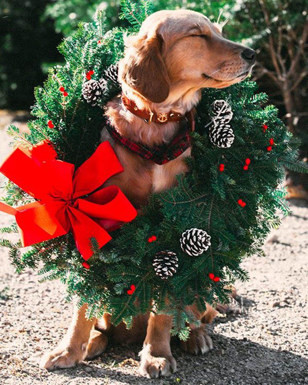 Chiens Noël : c'est celle-ci la plus belle!