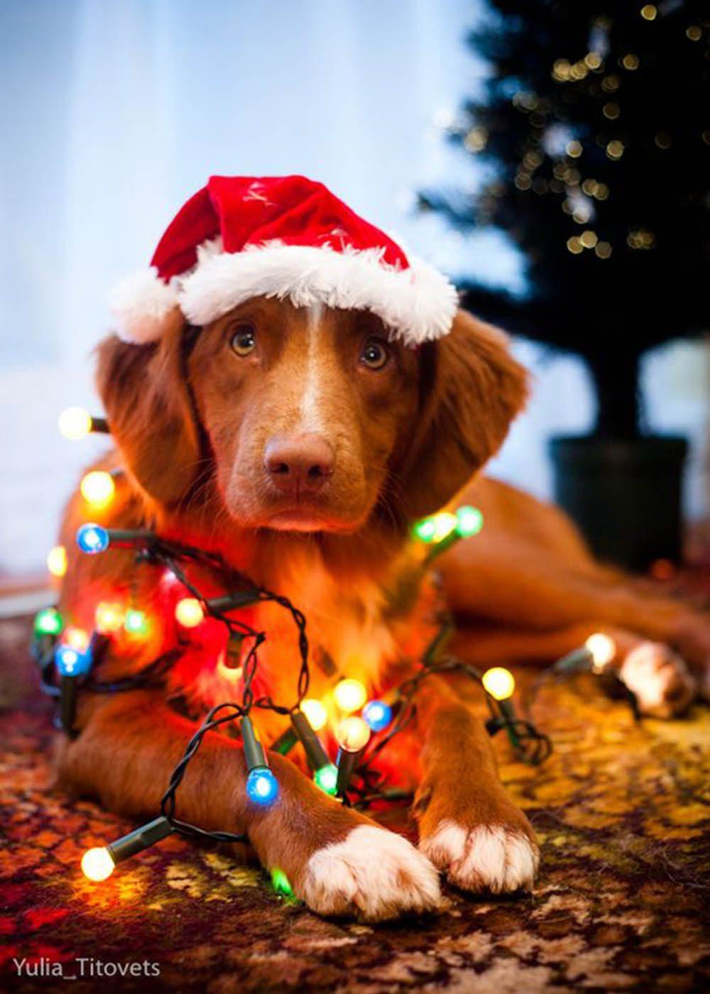 Chiens Noël : un peu d'aide pour décorer votre sapin?