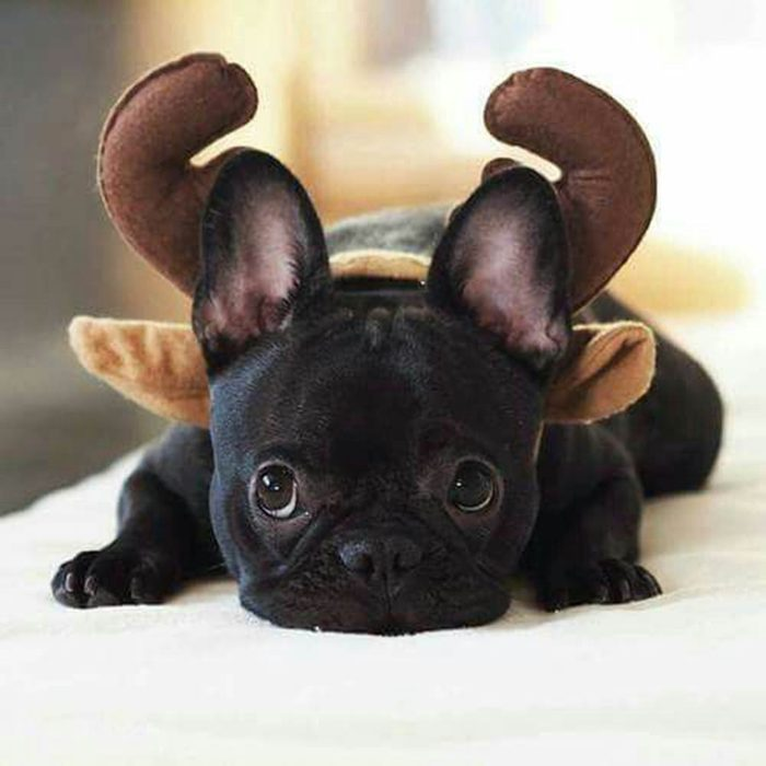 Chiens Noël : sans contredit, c'est moi le plus mignon des rennes!.