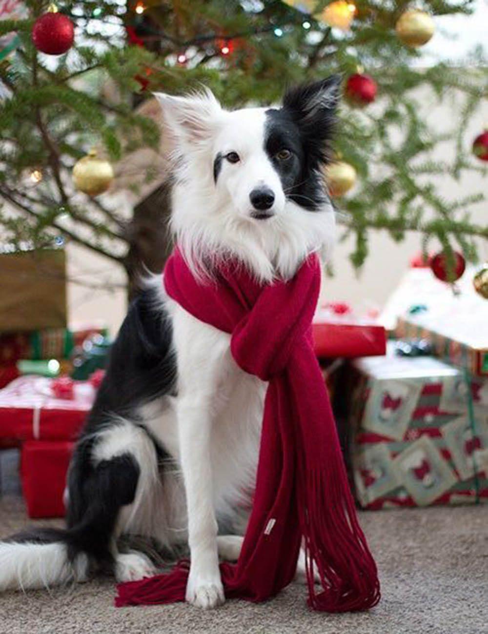 Chiens Noël : à Noël, il faut être élégant.