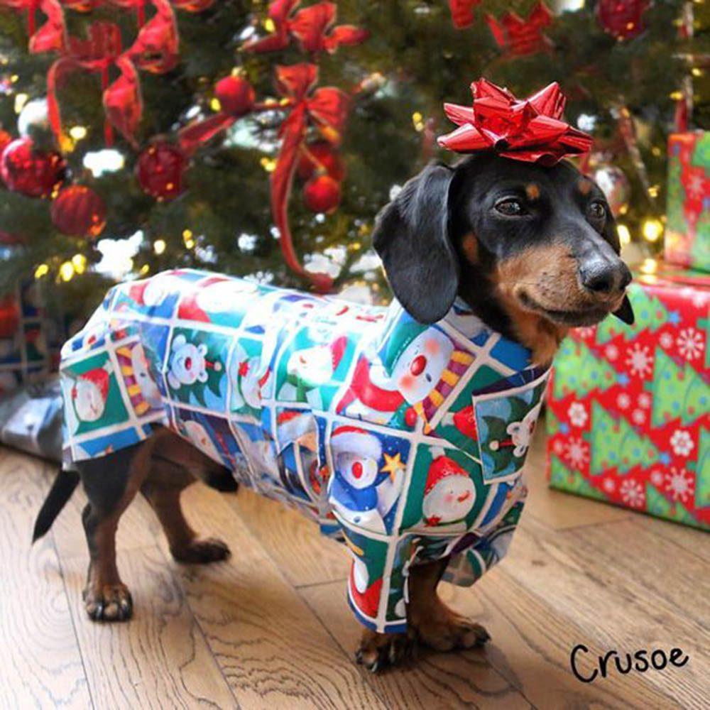 Chiens Noël : c'est moi, Crusoe! Je veux être votre cadeau!