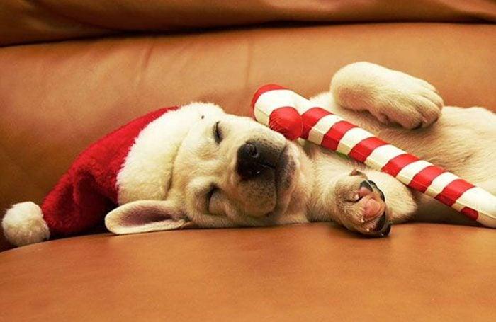 Chiens Noël : Noël, c'est épuisant!