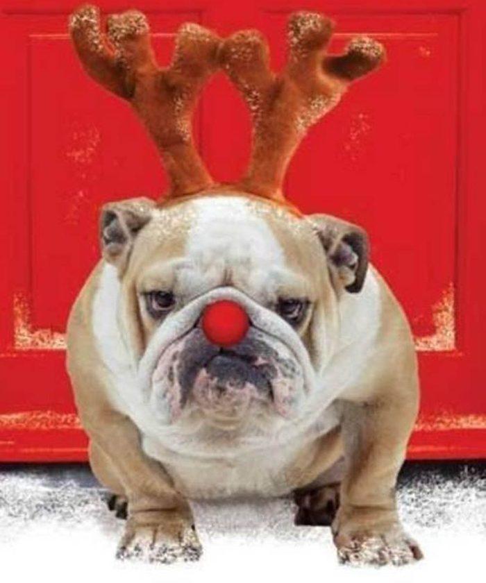 Chiens Noël : eh oui, je suis la version canine du Grinch!