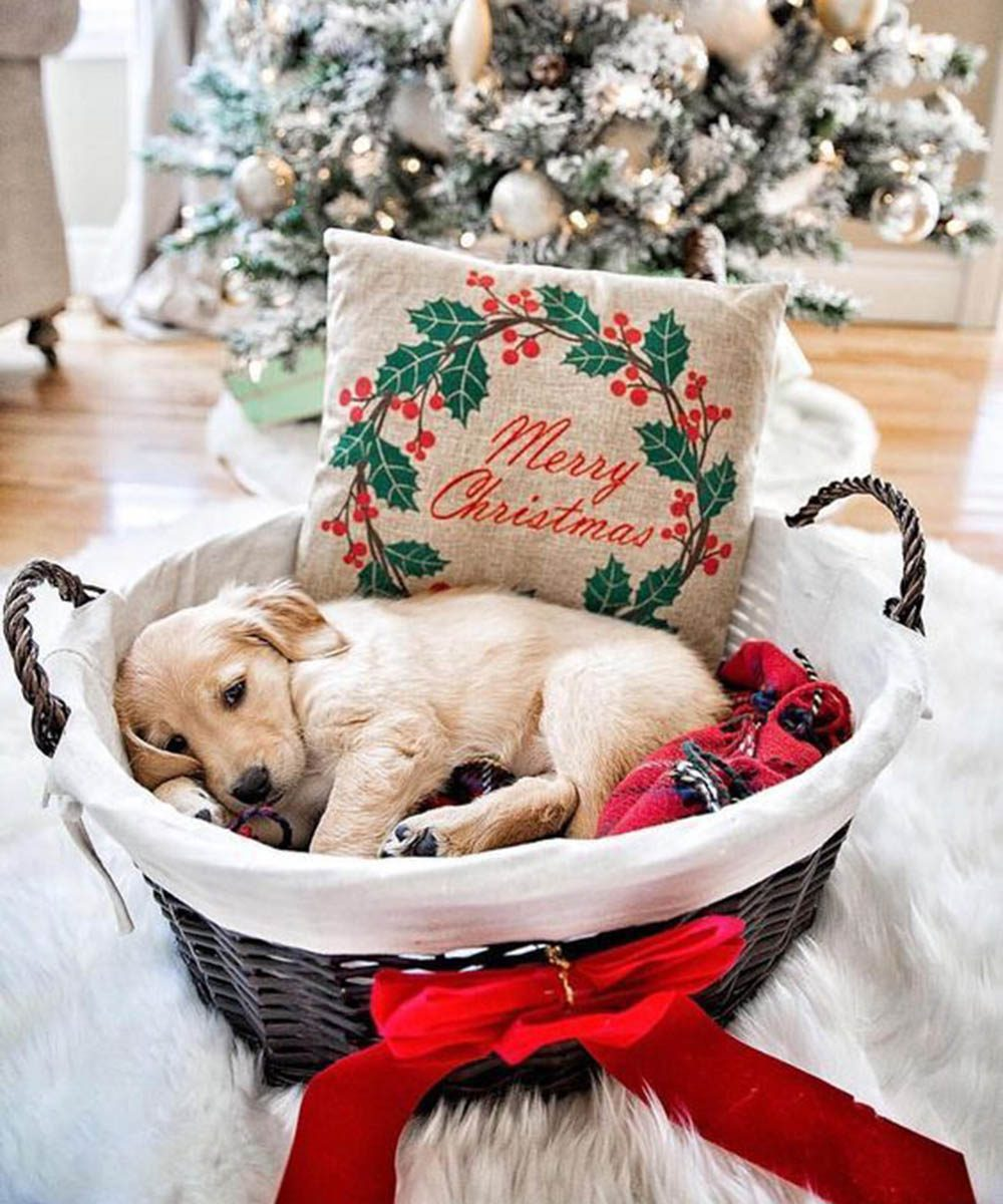 Chiens Noël : si je reste sous le sapin, je pourrai rencontrer le père Noël!