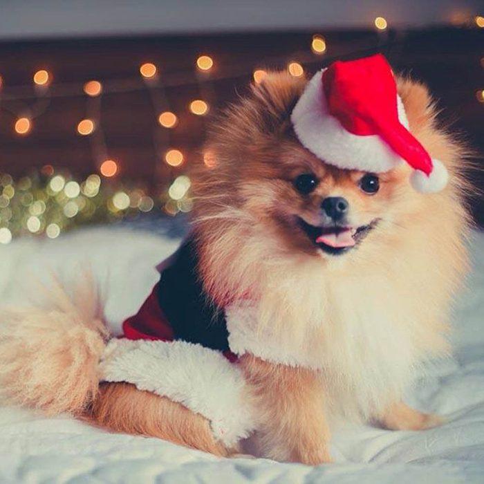 Chiens Noël : prête pour le party! J'ai mis mes plus beaux habits!