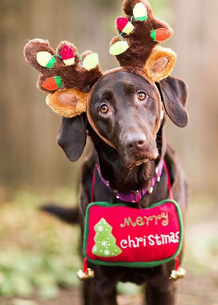 Chiens Noël : prêt pour remplacer un renne… au besoin!