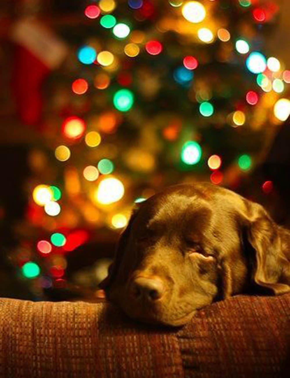 Chiens Noël : je surveille le passage du père Noël!