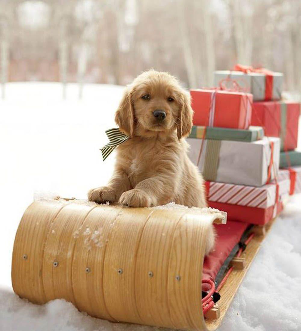 Chiens Noël : youpi! On distribue les cadeaux!
