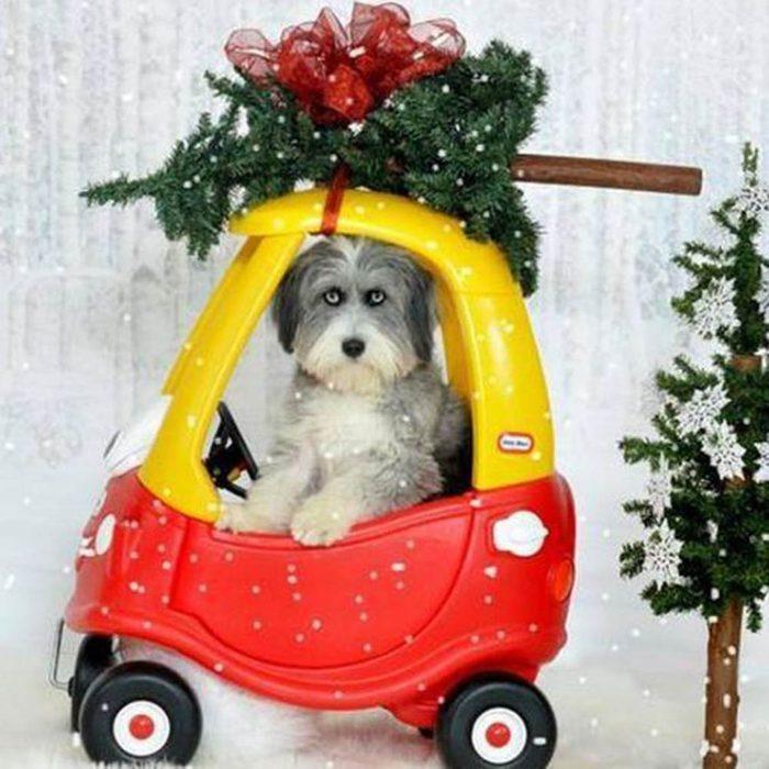 Chiens Noël : en voiture! J'ai trouvé le plus beau sapin!