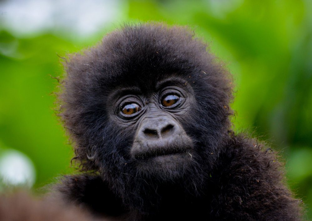 L'une des découvertes scientifiques de l'année affirme que le nombre de gorilles de montagne augmente.