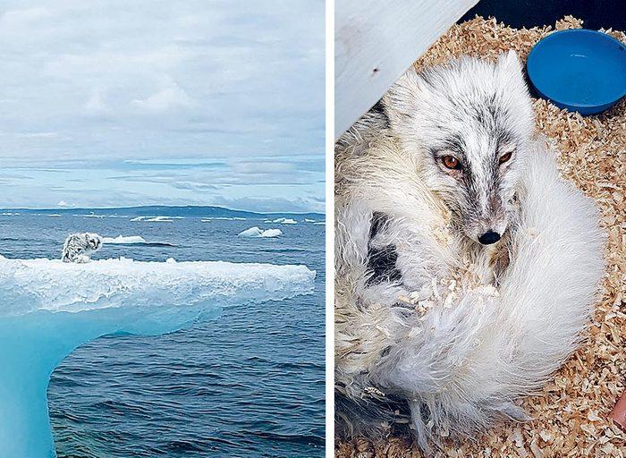 L'entraide a permis de sauver un renard piégé sur un iceberg.