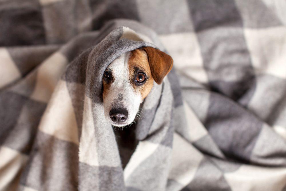 Votre chien est anxieux parce qu'il est malade.
