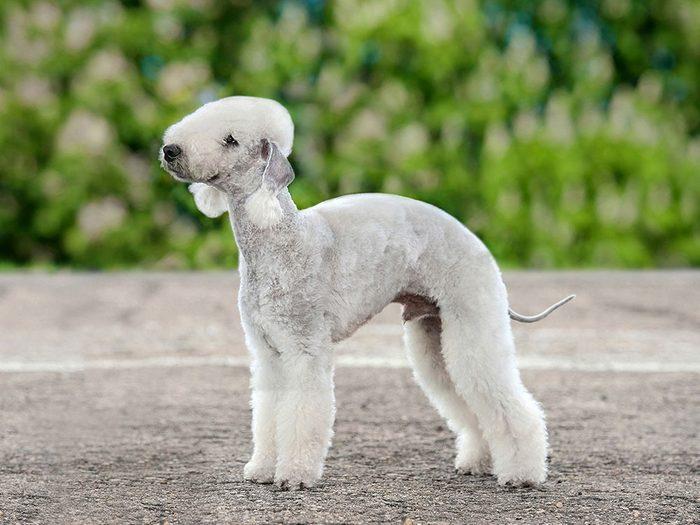 Le Bedlington Terrier est un chien bizarre.