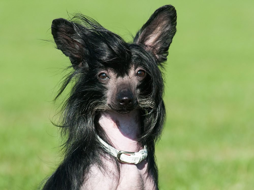 Les 20 races de chiens les plus bizarres.